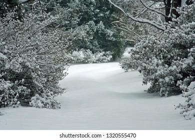 snow covered lane with azalia bushes and pine trees