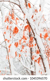 Snow Covered Maple Forest