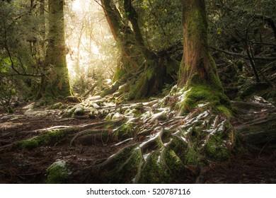 Snow Covered Network Roots and Tree Trunks, Shiratani Unsuikyo, Yakushima, Kagoshima, Kyushu, Japan