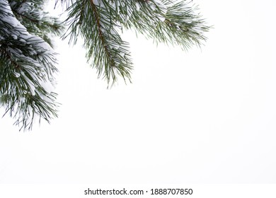 Snow covered pine branches on a white background, copy space