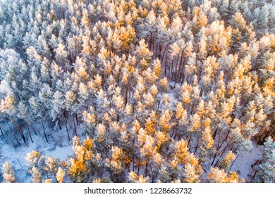 Snow covered pine forest from above. Winter Christmas forest in the morning sunlight. Beautiful winter background.
