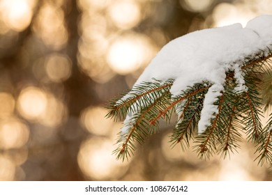 Snow covered pine tree branch during sunset with golden colors in the background