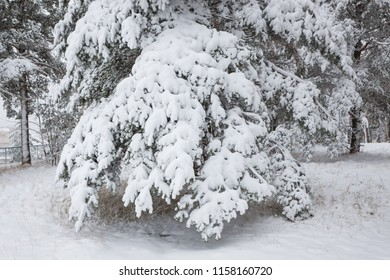 Snow covered pine tree branches in winter forest