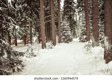 Snow covered pine tree trunks in pine forest as background. Hiking trails through the winter forest.