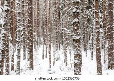 Snow covered pine tree trunks in pine forest as background. Hiking trails through the winter forest. Abstract striped pattern.