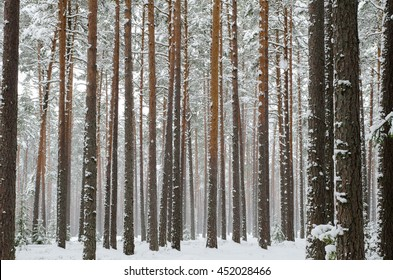 Snow covered pine tree trunks in pine forest as background. Winter forest. Snow falling from trees. Abstract striped pattern.