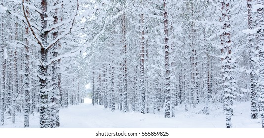 Snow covered pine tree trunks in pine forest as background. Hiking trails through the winter forest. Abstract striped pattern. Panoramic view