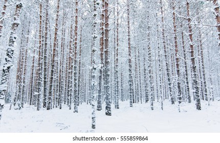 Snow covered pine tree trunks in pine forest as background. Winter forest. Abstract striped pattern.