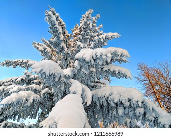 Snow covered pine tree in the Upper Peninsula of Michigan