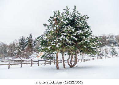 Snow covered pine trees and a long wooden fence on the white winter rural land