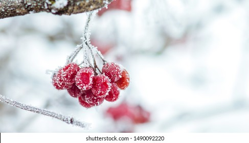 Snow covered red viburnum berries on light blurred background