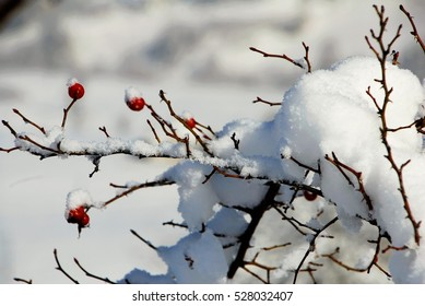snow covered rose hips in deep snow/rosebush covered with deep snow/strong winter