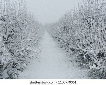 Snow covered row of fruit trees betuwe holland