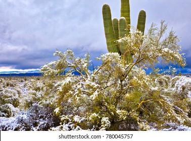 Snow covered Saguaros after snow storm. Near Phoenix AZ.