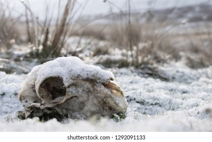 Snow covered sheep skull in Elan valley wales