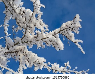 snow covered shrub with red berries