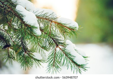 Snow Covered Spruce Branches Close Up. Golden hour. Fir branch with snow, Winter forest.
