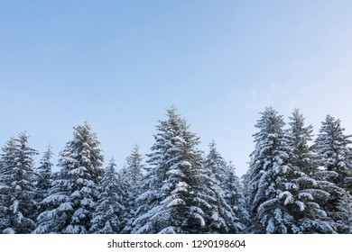 Snow covered spruce trees with blue sky in Southeast Alaska in winter.