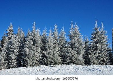 Snow covered spruce trees and blue sky