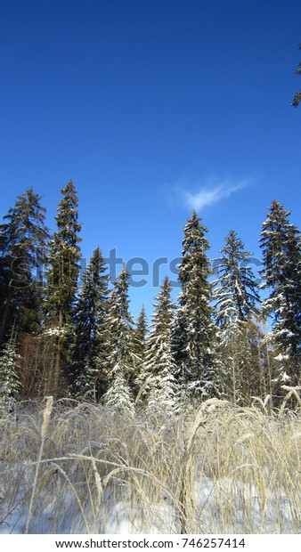 Snow covered spruce trees and blue sunny sky
