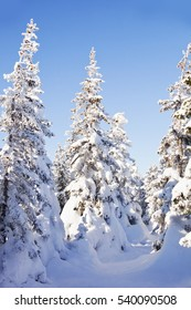 Snow covered spruces. Winter forest. Ural landscape