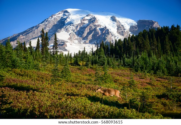 Snow Covered Summit and New Growth at Mount Rainier National Park