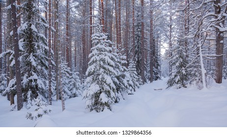 Snow covered taiga with pines and Christmas trees