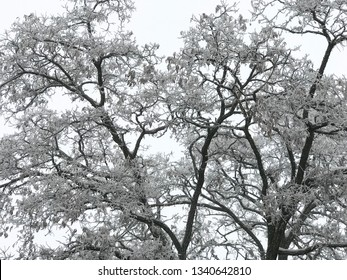 Snow covered tree branches, monochrome picture