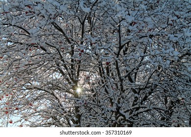 Snow Covered Tree Branches with Red Berries in Winter