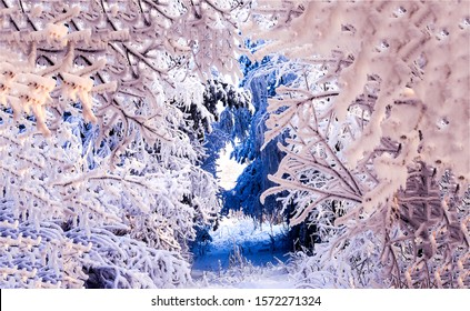 Snow covered tree branches tunnel in winter forest. Winter snow scene. Winter snow tunnel branches. Christmas in snowy winter forest