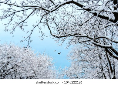 Snow Covered Trees against a Light Blue Sky in Winter