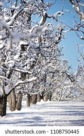 Snow covered trees in an apple orchard with snow on the ground and a blue sky