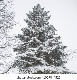 snow covered trees in the forest