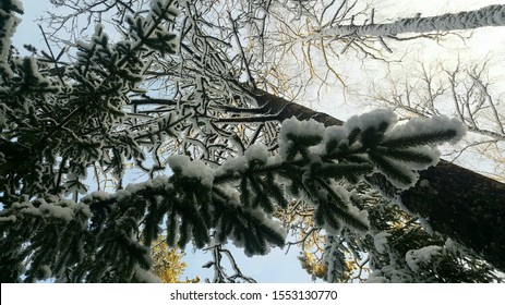 Snow covered trees reaching towards the sky. Beautiful upwards view of spruce, pine and birch trees in the forest completely covered in snow and ice. Photographed in Espoo, Finland.