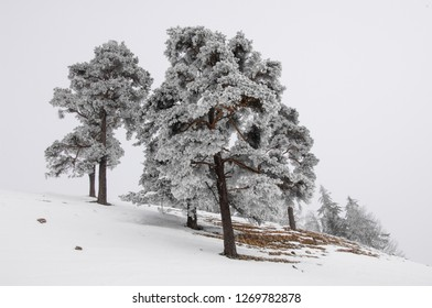 Snow covered Trees in a winter environement