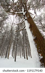 Snow covers a pine forest at Rock Cut State Park in northern Illinois