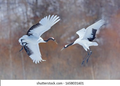 Snow crane dance in nature. Wildlife scene from snowy nature. Cold winter.  Snowfall two Red-crowned crane in snow meadow, with snow storm, Hokkaido, Japan. Crane pair, winter scene with snowflakes.