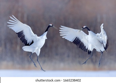 Snow dance in nature. Wildlife scene from snowy nature. Cold winter. Snowy. Snowfall Red-crowned crane in snow meadow, with snow storm, Hokkaido, Japan. Bird in fly, winter scene with snowflakes.