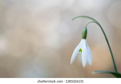 snow drop early spring white wild flower, background. Galanthus nivalis is blooming during winter and one of the first wildflowers of the year.
