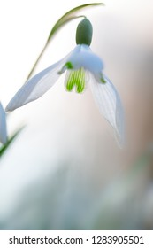 snow drops winter or early spring white wild flower, Galanthus nivalis