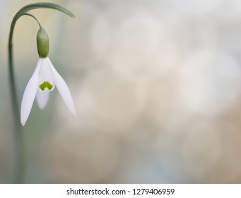 Snow drops winter white wild flower, background. Galanthus nivalis is blooming during winter and one of the first wildflowers of the year.