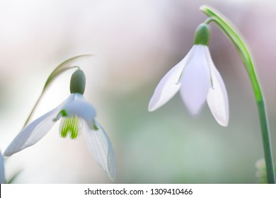 snow drops winter white wild flower, Galanthus nivalis. Snowdrops are the first floral blooming.