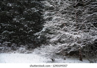 Snow falling at the edge of a forest in early winter.