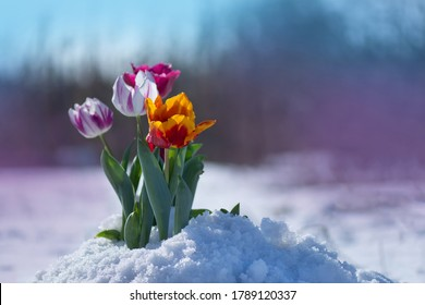 Snow falling on tulip flowers. Mixed color tulips under spring snow in april. Abnormal weather and snow