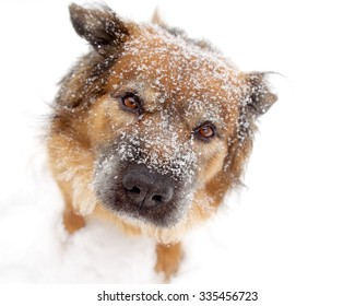 Snow Flake Covered Brown Dog Looking Up on White Background