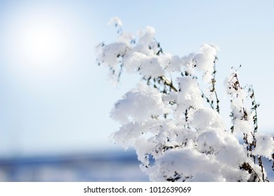 snow flakes on a branch