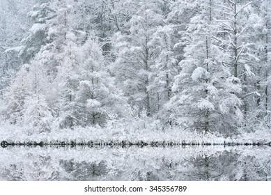 Snow flocked tamaracks and reflections in lake water, Kalamazoo County, Michigan, USA