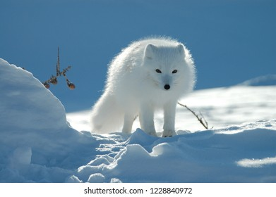 Snow fox in the snow in the arctic