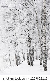 Snow and frost covered birch trees (Betula pendula) in winter landscape.