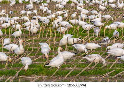 Snow geese (Anser caerulescens) in a farm field with last year's corn stubble on the last day of winter at Fir Island Farms Reserve, Skagit County, Washington.
